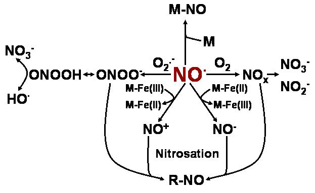 s-nitrosoglutathione reductase  gsnor
